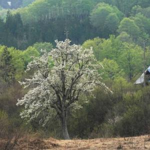 梨の花咲く