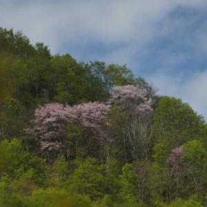 破間渓谷の尾根に咲く オオヤマザクラ