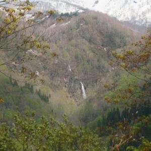 破間渓谷  遙か遠くの オオヤマザクラ と 滝と