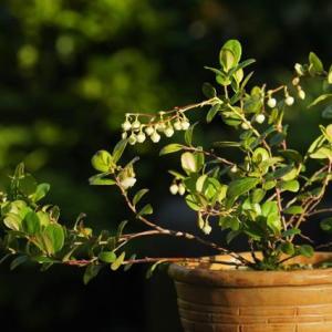 シラタマノキ の花は
