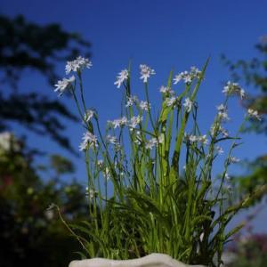 コアニチドリ と トキソウ白花