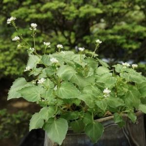 ミヤマタニタデ と イワタバコの白い花