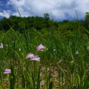 トキソウ 花盛り