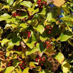 サルトリイバラ の赤い実