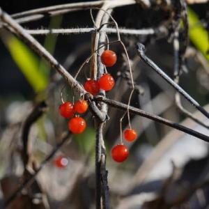 ヒヨドリジョウゴ の実も赤い