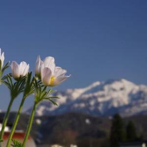 白花翁草 プルサチラ