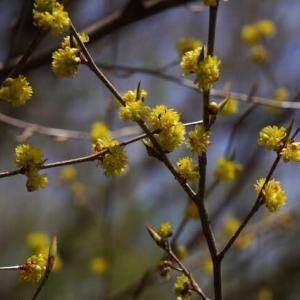 黄色い ケアブラチャン と ツノハシバミ の赤い花 と