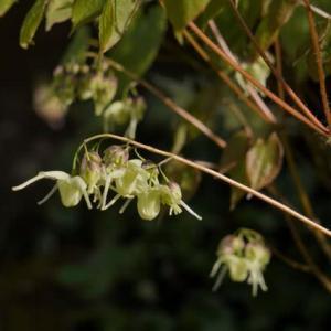キバナイカリソウ の花色は