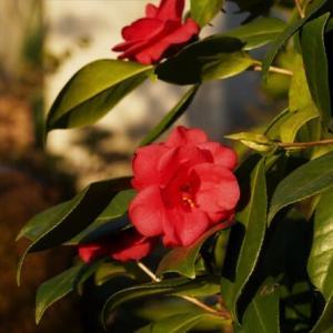 池畔の椿 3 ユキツバキ系の古い園芸種