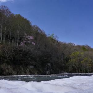 雪解け 増水 オオヤマザクラ