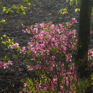 ユキグニミツバツツジ 夕陽に照らされて