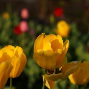 黄色いチューリップ 赤いチューリップ