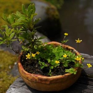 キラキラ光る ツルキツネノボタン の花