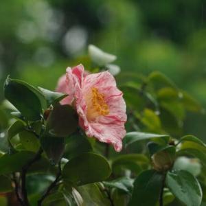 棚場の椿 4 雨に咲く花
