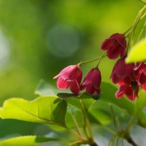 新緑の中に真っ赤な花 ベニサラサドウダン