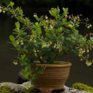 花が咲きすぎる シラタマノキ
