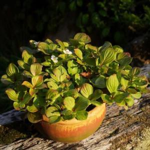 ゴゼンタチバナ は葉ばかり