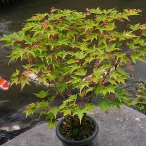 花盛りの コミネカエデ に ヒメマルカツオブシムシ