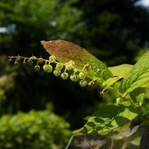 淡緑色 ハナヒリノキ の花