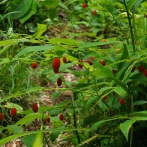 オオバタケシマラン の赤い実