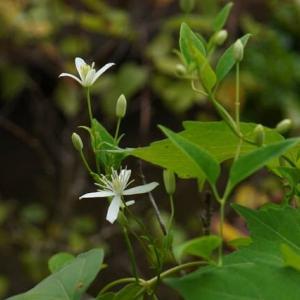 センニンソウ の初花と ボタンヅル