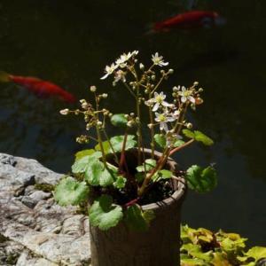ダイモンジソウ 白い花