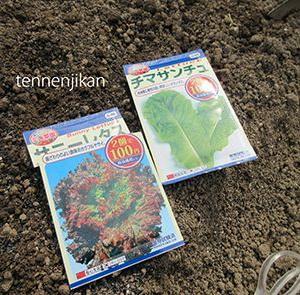 ちぢみ菜など種蒔、法連草、パクチー収穫
