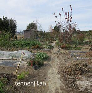 玉ねぎ植付、里芋収穫、ニンニク植付