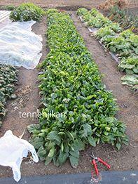 法連草収穫、空豆発芽