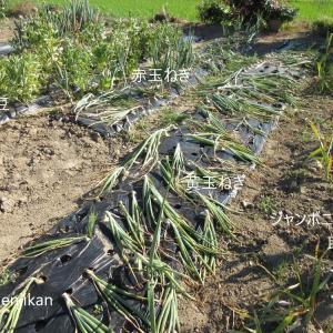 玉ねぎ、空豆収穫