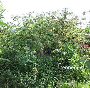 ごぼうの木!?赤大根、ジャンボニンジン種蒔