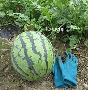スイカ収穫、鶏糞撒き、耕うん、水菜など種蒔