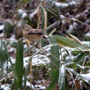 うっすら雪に赤い鳥さん・・