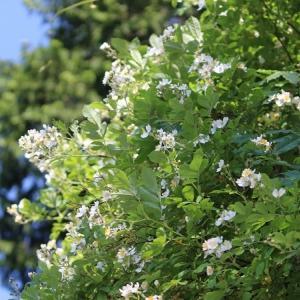 もっさりとさいていた白いお花たち・・^^