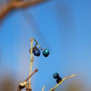 ノブドウの青と冬鳥さんちらり・・・