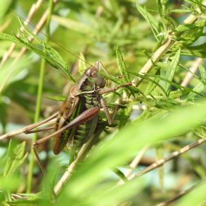 ヒガシキリギリス