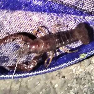 ナイトガサガサ漁で色々採って来た 其の一部は水槽で一部は食べる❗❓