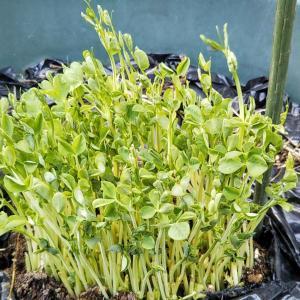 R君と畑の観察 高菜の菜花でお料理