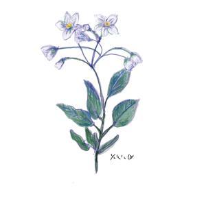 10月22日の誕生花 ヤマホロシ 愛し始めているようです
