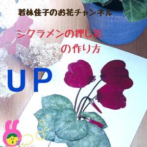 【動画レッスン】 シクラメンを押し花にする方法!