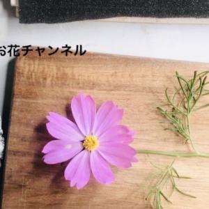 【動画レッスン】コスモスの押し花の作りかた!秋のお花を楽しむ