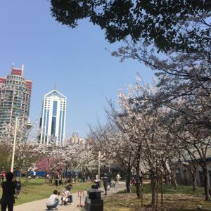 私の上海のお庭に桜が咲きました!上海に春が来ました!