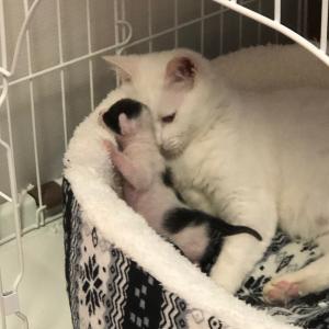 白猫ハクちゃんの子育て日記9