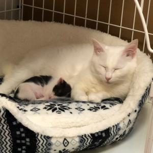 白猫ハクちゃんの子育て日記16