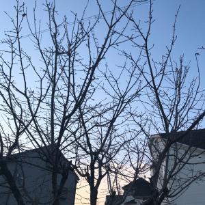 朝散歩で出会う、満開の桜と●●さん