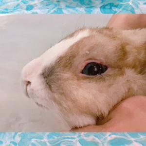 【ペット】うさぎさんの入浴方法を紹介。