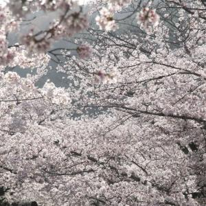 春、桜満開の哲学の道