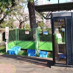 桜には罪は無いですがコロナウイルスで静な榴ヶ岡公園です。
