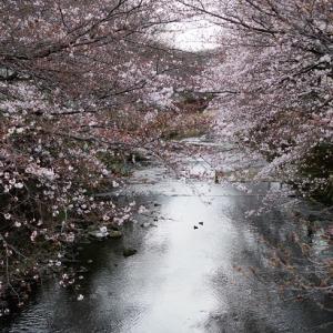 桜週間② フィルくんとおデート
