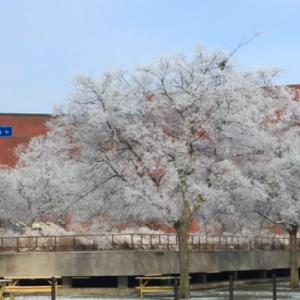 霜が桜みたい